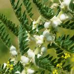 Anti-aging mit Astragalus?