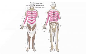 Segmentale Gliederung des Menschen: Dermatome